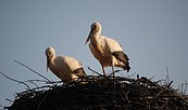 Störche im Nest, Foto: LUGV Brandenburg 2011, Schormann