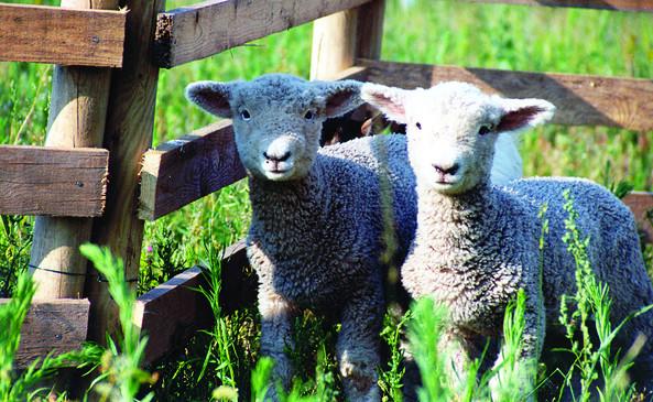 Schafe, Foto: Tourismusverband Dahme-Seen e.V.