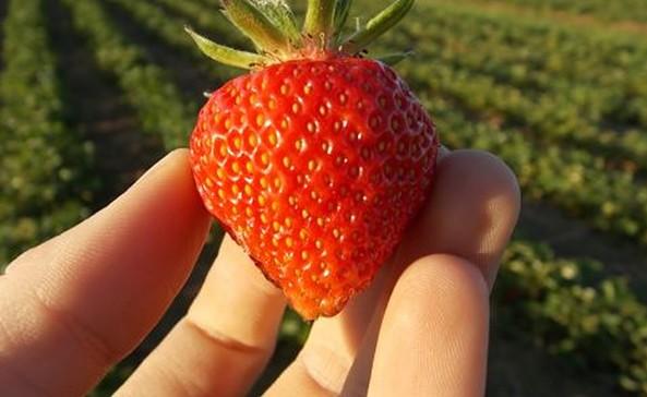 Erdbeere, Foto: Pomona Gartenbau GmbH & Co. KG