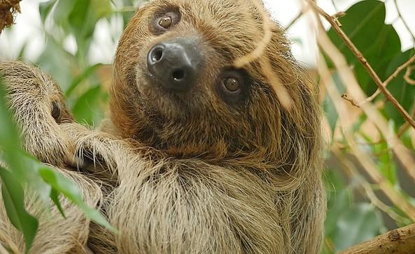 Faultier Carlo, Foto: Zoo Hoyerswerda