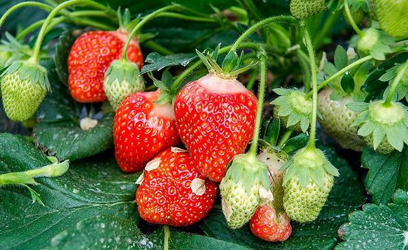 Erdbeeren, Foto: Spreewaldhof Niewitz