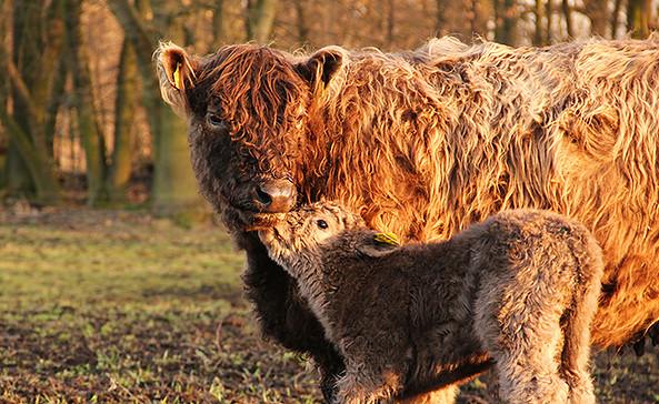 Galloway Mutter mit Kalb, Foto: Frank Mertens, Galloway Löwenbruch