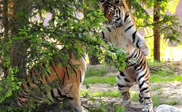 Zoologischer Garten Eberswalde - Sibirische Tiger, picture: Rainer Schluttig