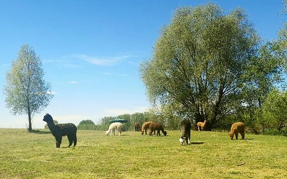 Tiny Alpaca Town Farm