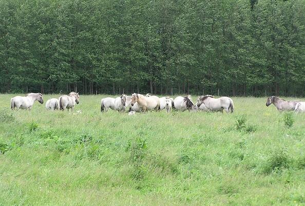 Liebenthaler Pferdeherde auf den Prötzewiesen
