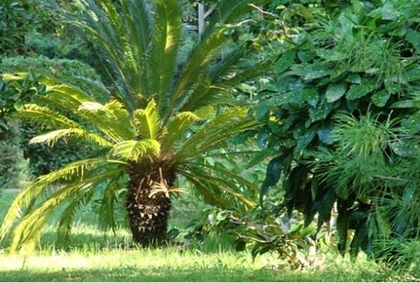 Forstbotanischer Garten Eberswalde - Japanischer Palmfarn Cycas revoluta, Foto: C. Gohlke