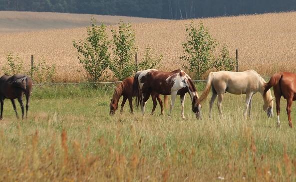 Reiterhof und Pension Fürstenhof  Pferde auf der Weide