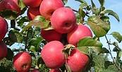 Äpfel, Foto: Hauke