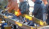 Abfischen der Hammerteiche Teichwirtschaft Lindena, Foto: Andrea Opitz