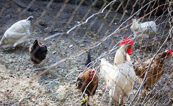 Hühner, Foto: J.Marzecki