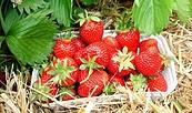 Frische Erdbeeren vom Feld © Gabriele Müller