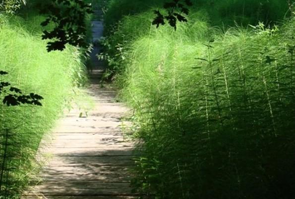 Forstbotanischer Garten Eberswalde - Holzsteg über Quellmoor mit Riesenschachtelhalm, Foto: C. Gohlke