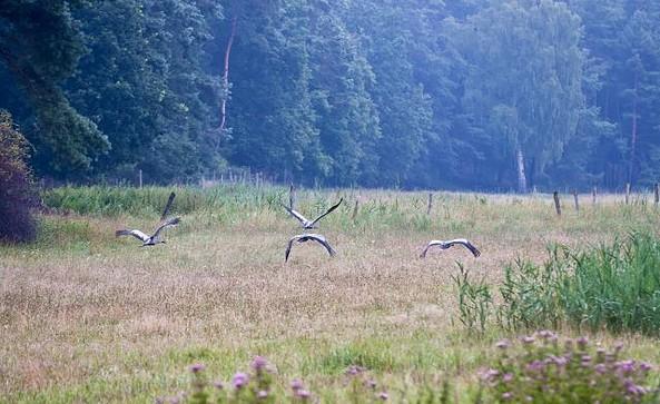 Kraniche überfliegen Wiese, Foto: TMB-Fotoarchiv/Yorck Maecke