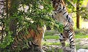 Zoologischer Garten Eberswalde - Sibirische Tiger, Foto: Rainer Schluttig