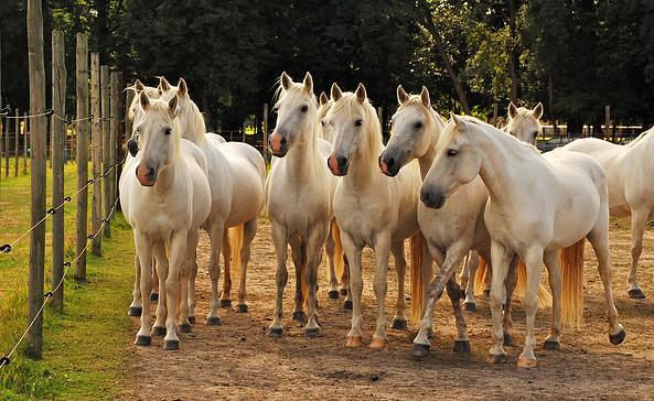 Camargue-Pferde-Hof Wesendahl, Foto: FRUVEG GmbH