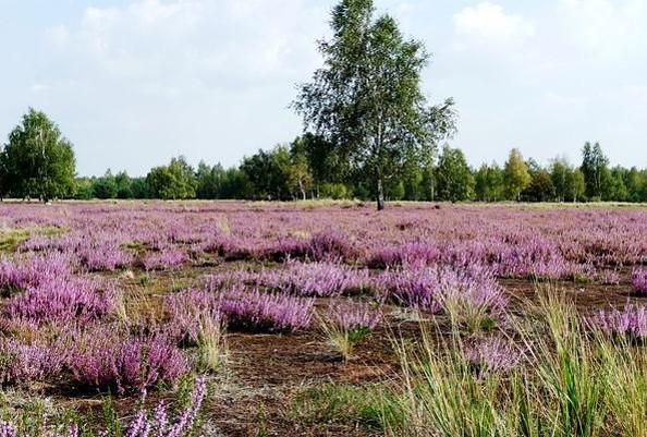 Heideblüte im Naturpark Niederlausitzer Heidelandschaft, Foto: Archiv LUGV