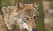 Wolf im Wildpark Schorfheide, Foto: Wildpark Schorfheide gGmbH