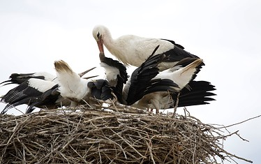 Störche in ihrem Nest, Foto: TMB-Fotoarchiv/Petra Ferch