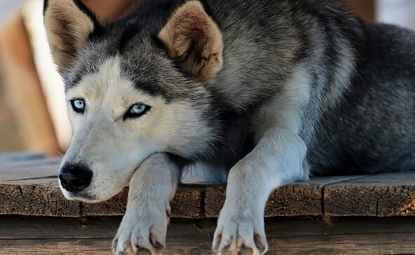 Erlebniswanderung mit Siberian Huskies 1 © Sabine Kühn